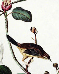 Bachmans Finch. From The Birds of America (Amsterdam Edition)
