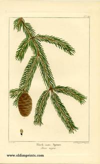 Black (double) Spruce.  Abies nigra