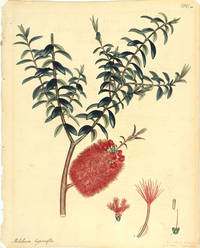 Melaleuca hypericifolia [Botanical print]