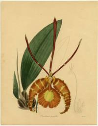 Oneidium papilio.