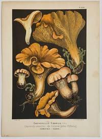 Cantharellus Cibarius; Chanterelle comestible. Gemeiner gelber Pfifferling