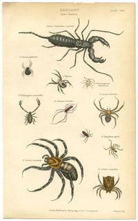 Zoology. Class Crustaccea. Genus Tarantulus candata