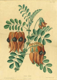 "Clianthus Dampieri,  Sturt's Desert Pea, from the rare work ""The Illustrated Bouquet"""