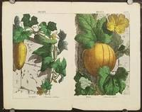 Fruits. Cucumber (Cucumis sativus)  Melon. (Cucumis melo). [Double page from The Instructive Picturebook or Lessons from the Vegetable World].