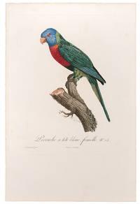 [Blue Headed Parrot] Perruche à tête bleue, femelle