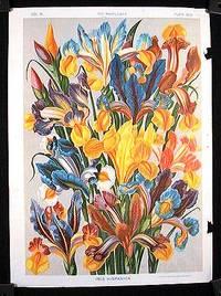 Iris Hispanica
