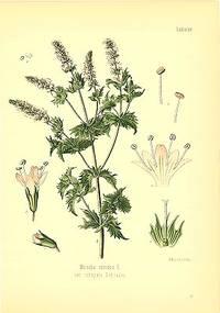 Mentha viridis L.  var. crispata Schrader
