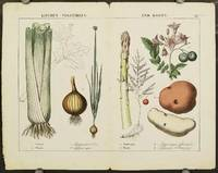 Kitchen - Vegetables and Roots. a Asparagus b Potato c Celery d Onion [Double page from The Instructive Picturebook or Lessons from the Vegetable World].