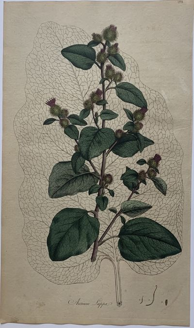 London: W. Curtis, 1798. unbound. Botanical print. Copper plate engraving with hand coloring. Page m...