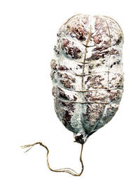 Salami #7 (Signed Limited Edition Print)