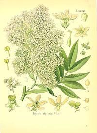 Hagenia abyssinica Willd