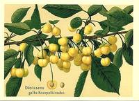 Donissens gelbe Knorpelkirsche