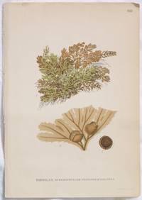 HINNBLAD Hymenophyllum peltatum (Poir.) Desv.