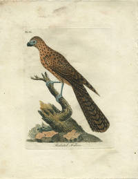"""Hand colored engraving, """"Radiated Falcon"""""""
