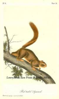 Pl. 55 Red-tailed Squirrel