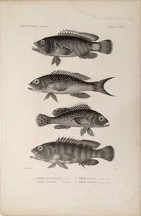 image of Merou Mille-Etoiles, Merou Mouchete, Merou Gaimard, Merou Boelang.  [Stipple engraving of fish from the South Pacific]