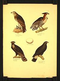 Kurzzehigeradler. Aquila brachylactylus. Aean de blanc. / Aschaubter Hubrchisadler. Falco ornatus. Autourhuppe. Aquilabrachydactylus. Gransamer Habichtsadler. Falco tyranus. Autour tryan. Schwarzer Hakenadler. Falco ancinatus. Cynindis hecencroc