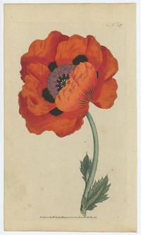 Papaver Orientale. Eastern Poppy.