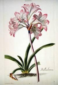 HORTUS NITIDISSIMIS ... : Lilio - Narcissus I; Belladonna (print)