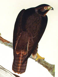 Black Warrior. From The Birds of America (Amsterdam Edition)