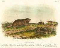 Pl 150 Southern Pouched Rat, Dekay's Shrew