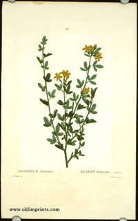 Jasminum fruticans. Jasmin fruticans. by  P.J.  (illus).  Mlle. Brunet (engraved by) JASMINE) Redoute - Ca. 1801- 1819. - from oldimprints.com and Biblio.com