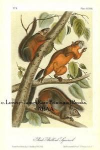 Pl. 38 Red-bellied Squirrel