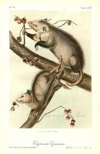 Pl 66. Virginian Opossum