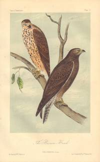 image of The Brown Hawk: Buteo insignatus