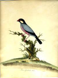Java-Grosbeak Male.   Hand colored engraving