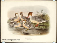Goosander. Female & Young