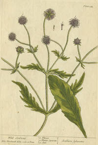 """Wild Scabious from """"A Curious Herbal, containing five hundred cuts, of the most useful plants, which are now used in the practice of physick"""" by  Elizabeth Blackwell - 1739 - from Antipodean Books, Maps & Prints and Biblio.com"""