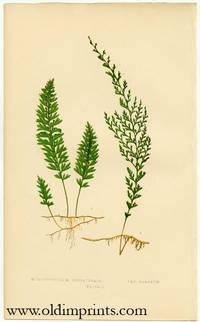 Hymenophyllum Unilaterale. Var. Ramosum