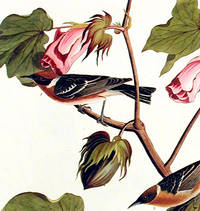 Bay-breasted Warbler. From The Birds of America (Amsterdam Edition)