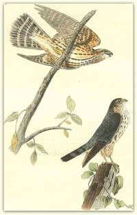 Pl. 21 Pigeon Falcon (Merlin) The Birds of America,