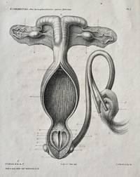 Over Hermaphroditismus Spurius Feminius
