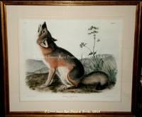 Plate XII Swift Fox.
