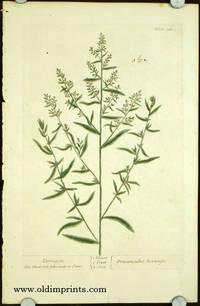 Tarragon. Dracunculus hortensis (from A Curious Herbal).
