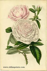 Rose Queen Victoria