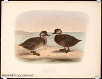 Scoter. Immature Stages