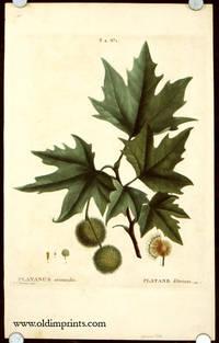 Platanus orientalis. Platane d'Orient