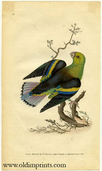 Psittacus Melanopterus. Black Winged Parrakeet