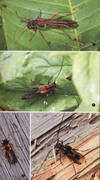 A Photographic Guide to Longhorn Beetles of China. In 8vo, softcover, pp. 240 in color [In Chinese]. Shipping from China