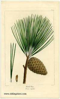 Pitch Pine. Pinus rigida