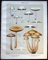 View Image 1 of 2 for Original Color Lithograph Plate 60 Hypholoma Incertum & Hypholoma Perplexum Inventory #26107