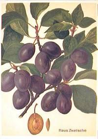 Haus Zwetsche. (Variety of purple plum)