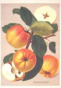 Gravensteiner. (Variety of apple)
