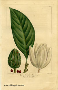 Large Magnolia or Big Laurel. Magnolia Grandiflora