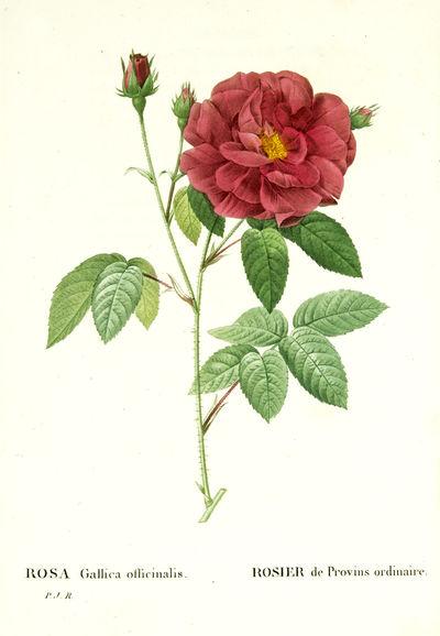 Les Roses peintes par P.J. Redouté...