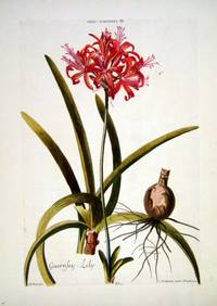 HORTUS NITIDISSIMIS ... : Lilio - Narcussus IV; Guernsey-lily (print)